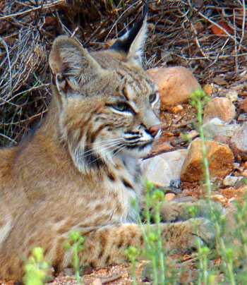 Bobcat in profile