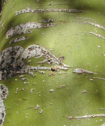 Palo Verde: close-up of a branch