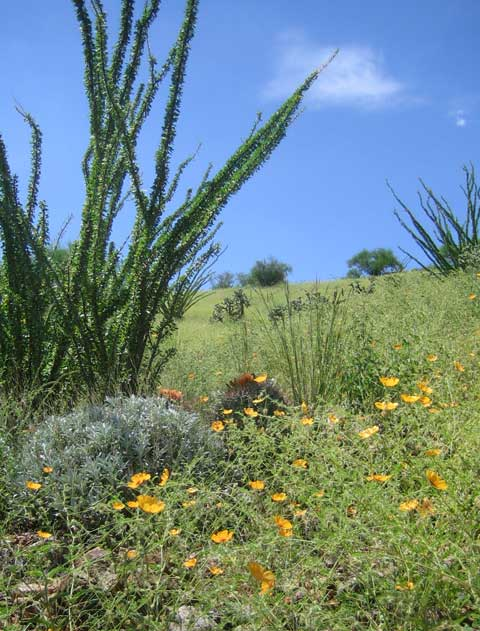 Poppies and ocotillo