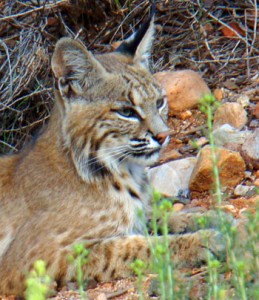 Bobcat-profile
