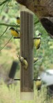 Goldfinches chow down