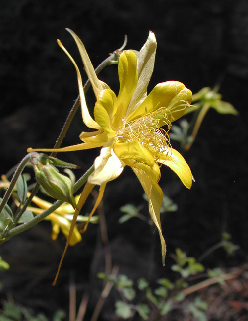yellow-columbine-profile