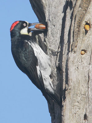 Acorn-Woodpecker-Grey