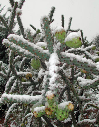 Snow-on-cholla