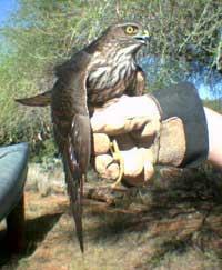coopers-hawk